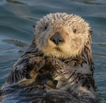 Sea Otter color